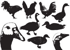 Domestic birds.Farm animals Stock Images