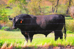 Domestic Black Angus Bull Stock Photo