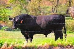 Domestic Black Angus Bull Stock Photo