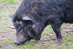 Domestic black big pig, close up photo stock photo