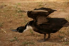 Domestic black duck stretching wings royalty free stock images