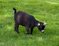 Domestic Black Goat Stock Photography