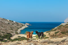 Domestic black and red goats are standing at dryland pasture and blue sea background on Kalymnos island in Greece Stock Photo