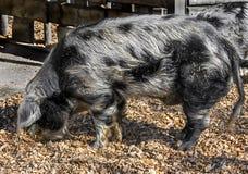 Domestic boar 4 royalty free stock photos