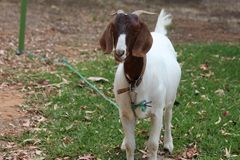 Brown and White Pet Goat. Domestic Breed of goats are different from the ones raised on farms. But nowadays, several people are domestically raising goats for Stock Images