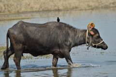 Indian Domestic Buffalo. Reared in India for producing Milk. They belongs of Asian Water Buffalo Family Stock Photos