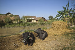Domestic buffalos in typical tharu farm, Nepal Royalty Free Stock Photography