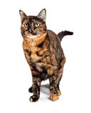 Domestic Calico Cat With Dark Markings Stock Images