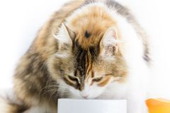 Calico cat eating from a bowl in front profile close up image. royalty free stock images