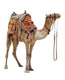Domestic camel stock photo