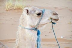 Domestic camel portrait in desert Royalty Free Stock Photo