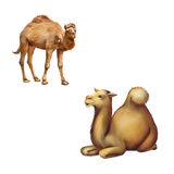 Domestic camel standing and laying resting on the Royalty Free Stock Photos