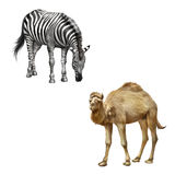 The domestic camel standing, zebra bent down Stock Image