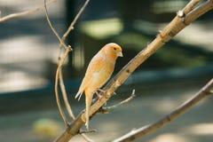 Domestic Canary (Serinus canaria) Stock Photo