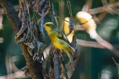 Domestic Canary (Serinus canaria) Royalty Free Stock Photo