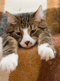 Domestic Cat Stock Image