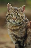 Domestic cat Royalty Free Stock Images