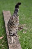 Domestic cat. Walking  tabby young domestic cat Royalty Free Stock Images