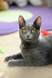 Domestic Cat. Portrait of domestic cat in a home environment Royalty Free Stock Photography