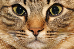 Domestic cat Royalty Free Stock Image