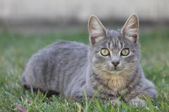 Domestic Cat. Domestic Grey Cat sitting on grass Royalty Free Stock Photography