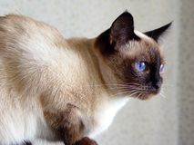 Domestic cat. Blue eyed domestic cat of Thai breed Stock Photography