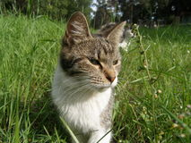 Domestic cat. Having a hunt for the mice Stock Images