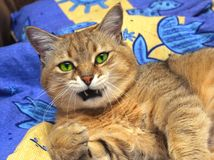 Domestic cat. Portrait of a domestic cat Royalty Free Stock Photo