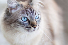 Domestic cat. Royalty Free Stock Photo