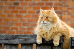Free Domestic Cat Royalty Free Stock Image - 4439896