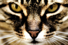 Domestic Cat. Close-up portrait of a cat Stock Images