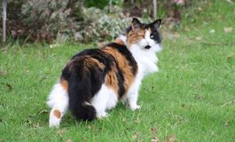 Free Domestic Cat Royalty Free Stock Images - 94007879