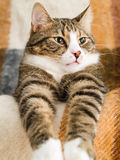 Domestic Cat. A domestic cat lying on a chair Stock Photo