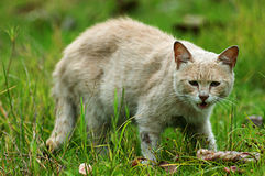 Domestic cat. The ancestor of the domestic cat can be traced back to 2500 BC in ancient Egypt, people of that time in order to control the mouse, the protection Stock Photography