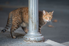 Domestic cat approach. Ing behind a road lamp pillar Royalty Free Stock Photos