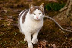 Domestic cat in the backyard  - close up royalty free stock image