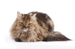 Domestic Cat. Ball alike cat is resting royalty free stock photo