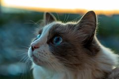 Domestic cat with a beautiful look with blue eyes sitting on the balcony watching the bird royalty free stock images