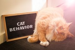 Domestic cat behavior issue depicted with cute ginger cat. stock photography