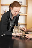 Domestic cat being examined at veterinarian Stock Image