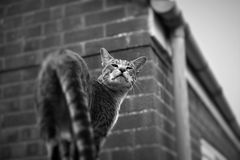 Domestic Cat. Bengal cat racial very beautiful coat can be as background Black and white Curious face Pensive male striped entrance to the roof proud beautiful Royalty Free Stock Images