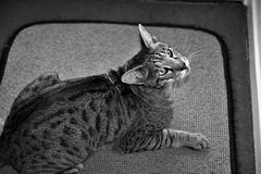 Domestic Cat. Bengal cat racial very beautiful coat can be as background Black and white Curious face Pensive male striped entrance to the roof proud beautiful Royalty Free Stock Image