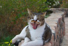 Domestic cat with big teeth and yawns. Domestic cat with big teeth lies there and yawns Royalty Free Stock Images