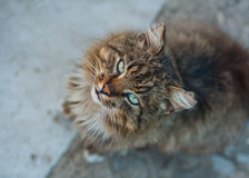 Domestic cat with big whiskers looking in camera Stock Photography