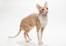 Domestic cat breed the Cornish Rex. On white background Stock Photography