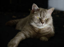 Domestic Cat (British Shorthair) Royalty Free Stock Images