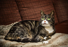 Domestic cat cat is lying on brown couch at home Royalty Free Stock Images