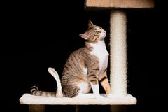 Domestic cat on a cat tree Royalty Free Stock Photo