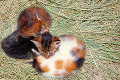 Domestic cat. S photographed while huddled on the hay Royalty Free Stock Photos