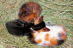 Domestic cat. S photographed while huddled on the hay Stock Images
